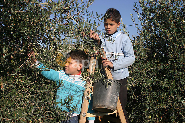 Palestinian students from Jawad school take part in harvest olives in the West Bank city of Hebron on November 15, 2012. As Palestinians have marked Nov. 15 as their Independence Day since 1988, when the Palestine National Council unilaterally declared statehood in the West Bank and Gaza Strip. Photo by Najeh Hashlamoun