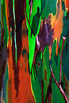 Multicolored peeling bark of Rainbow Eucalyptus (Eucalyptus deglupta)