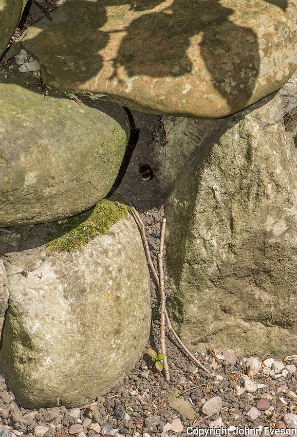 Bumble bee nest in a stone garden wall, Chipping, Lancashire.