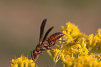 Paper wasp on goldenrod; Polistes on Solidago; PA, Philadelphia