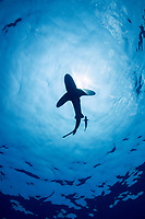 silhouette; of oceanic whitetip shark, Carcharhinus longimanus, with a small sharksucker or remora, and commensal pilot fish, Naucrates ductor, swimming in open ocean waters, Kona Coast, Big Island, Kona Coast, Big Island, Hawaii, USA, Pacific Ocean
