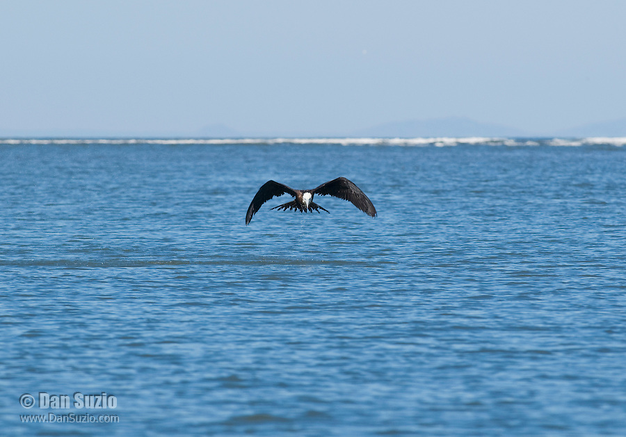 Magnificent frigatebird, Fregata magnificens, near the mouth of the Tarcoles River, Costa Rica