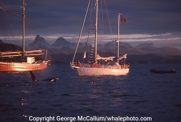 Killer whale Orcinus Orca pair surfacing near whale watching boats. Tysfjord, Arctic Norway