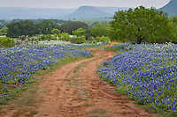 Wildflowers in the Texas Hill Country near Fredericksburg Texas.   Bluebonnets, the official Texas state flower, blanket large portions of the state in early spring. Their peak blooming season is in late March and early April. Bluebonnets depend on abundant winter rains and warm spring weather.