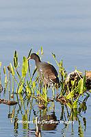 00858-00413 Common Gallinule (Gallinula galeata) at Viera Wetlands Brevard County, FL
