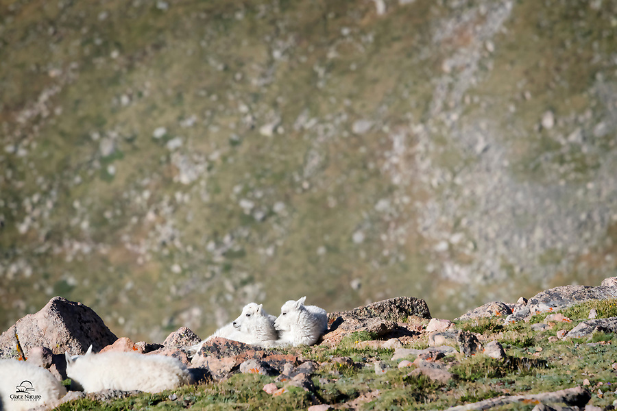 Mountain Goat (Oreamnos americanus) kids resting on the edge of their world, a cliff featuring a huge drop-off.  Here they are relatively safe from predators - at least on one side.  Mount Evans, Colorado.