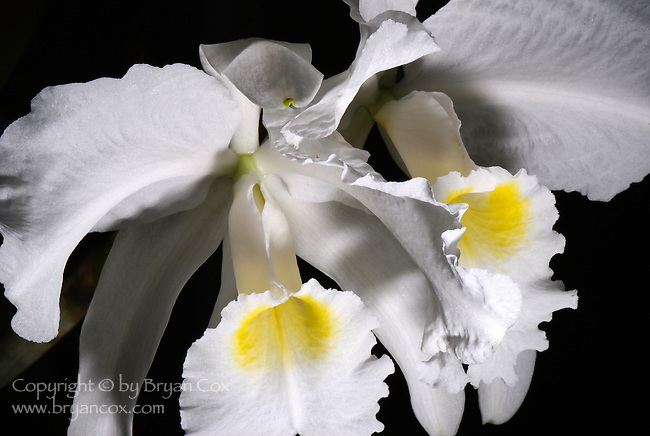 White orchid, Marie Selby Botanical Gardens, Florida