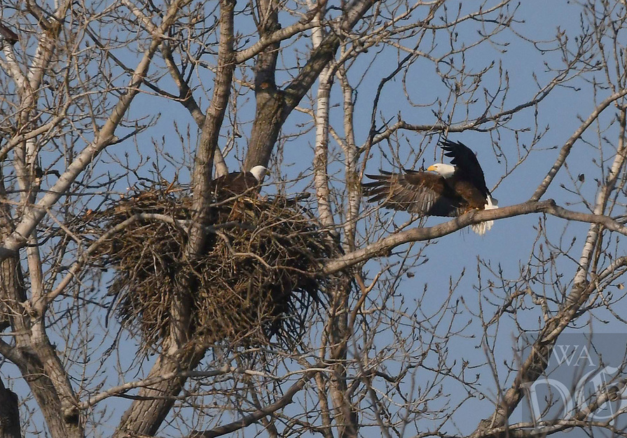 Courtesy photo/TERRY STANFILL<br /> Bald eagles tend to a nest Dec. 12 2018 at Sequoyah National Wildlife Refuge in eastern Oklahoma. Active and abandoned eagle nests can be seen on a driving tour of the 20,000-acre refuge.