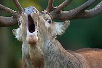 (Cervus elaphus); Dänemark; Denmark; Klampenborg Dyrehave; Mission: Rutting Red Deer; Red Deer; Rothirsch; stag