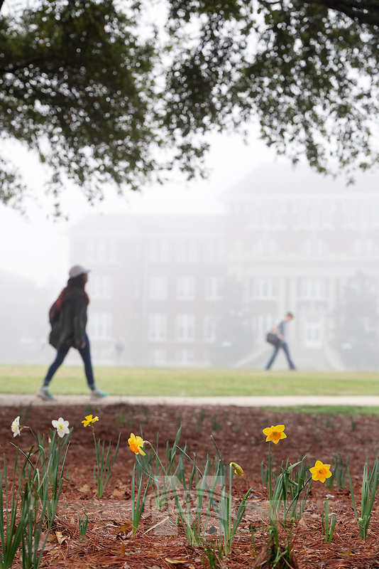 Drill Field foggy morning - daffodils with Swalm in the background.<br />  (photo by Megan Bean / &copy; Mississippi State University)