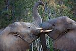 Namibia;  Namib Desert, Skeleton Coast,  young desert elephant bulls (Loxodonta africana) playing