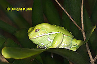 FR24-519z    Waxy Monkey Leaf Frog, Phyllomedusa sauvagii, Central and South America
