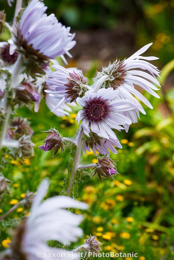 Berkheya purpurea 'Zulu Warrior' South African perennial flower in San Francisco Botanical Garden
