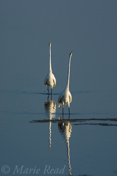 Great Egrets (Ardea alba), two during a dispute, Bolsa Chica Ecological Reserve, California, USA