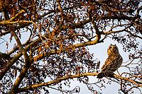 Short-eared owl (Asio flammeus) with head turned 220° anti-clockwise. Surrey, UK.