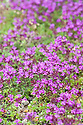 Purple-pink flowered wild or creeping thyme (Thymus serpyllum 'Coccineus'), early July.
