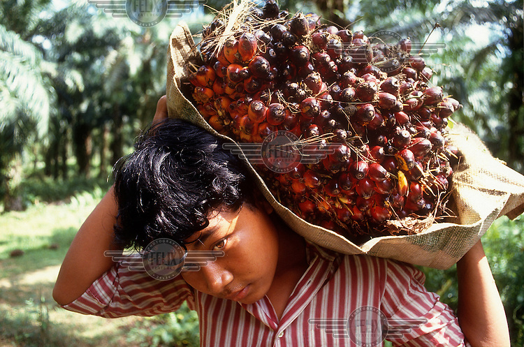 Youth carrying palm fruit on a plantation that produces palm oil, a major agricultural export.