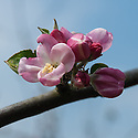 "Blossom of Apple 'Hambledon Deux Ans', late April. An old English culinary apple from Hambledon in Hampshire, about 1750. ""In c19th reputedly every Hants garden had tree of 'Deusans'. Also grown countrywide in gardens; for market in Kent and favourite with Sheffield fruiterers. Still found in old Hants, Sussex gardens."" ('The New Book of Apples' by Joan Morgan and Alison Richards)"