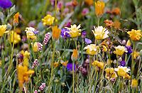 Wildflowers, Paysaten Wilderness, Washington