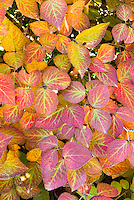 Viburnum carlesii in autumn fall foliage color