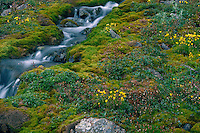 Red-stemmed and yellow marsh saxifrage<br /> Thorofare Pass<br /> Alaskan Range<br /> Denali National Park, Alaska
