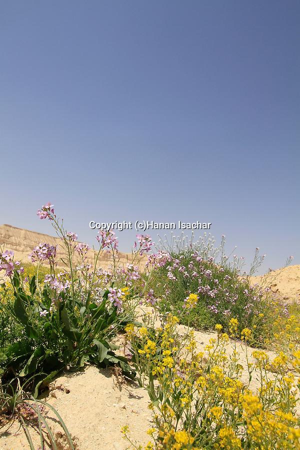 Israel, Negev, Wildflowers in Zin Valley