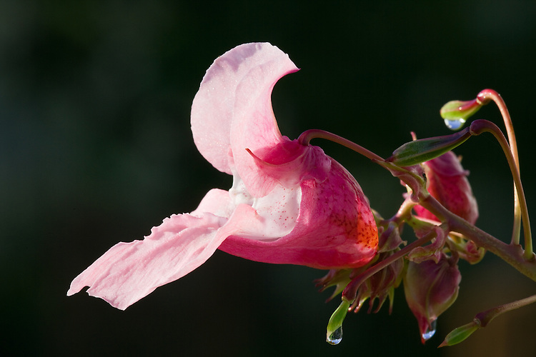 Himalayan Balsam - Ornamental Jewelweed