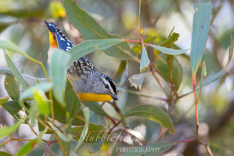 Spotted Pardalote (Pardalotus punctatus xanthopyge), Yellow-rumped subspecies, male on Kangaroo Island in South Australia, Australia.