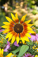 Helianthus sunflower, large yellow flower with brown orange center, purple coneflower, room at top for text
