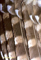 OW10-021b Saw-whet Owl - feathers close-up - Aegolius acadicus