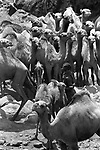 A Turkana herders and camels , ilemi triangle in the Northern part of the Kenya.<br /> The Turkana are herders of camels, cattle, sheep and goats and  are constantly migrating with their herds in search of  fresh pasture
