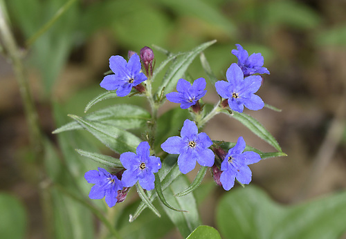 Purple Gromwell - Lithospermum purpurocaeruleum
