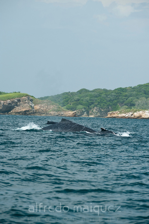 Humpback whale, Las Perlas archipelago, Panama, Central America