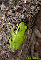 0605-0903  American Green Treefrog Climbing Tree at Outer Banks North Carolina, Hyla cinerea  © David Kuhn/Dwight Kuhn Photography.