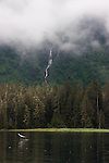 Alaska, salmon, Old growth forest, Prince William Sound, Esther Passage, Coastal temperate rain forest,.