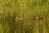 Pair of Cinnamon Teal in marshy wetland, Timmerman Ranch, Oregon, June.
