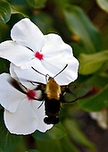 A Snowberry Clearwing Hummingibird moth, that looks a lot like a bumblebee, hovering over a white impatient. The moth's probiscus at ready, the gold and brown body still with the wings beating like a hummingbirds. The Snowberry Clearwing is similar to the Hummingbird Clearwing Moth(Hemaris thysbe).
