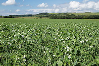 Vining peas in flower and early pod - June, Lincolnshire Wolds