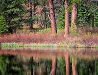 Ponderosa pine trees reflected in Deschutes River. Oregon.