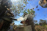 Teamwork: a beekeeper with the smoker and another who removes the frames of honey. The only solution for calming the killer bees' aggressiveness.///Travaille d'équipe, un apiculteur à l'enfumoir et un apiculteur qui enlève les cadres de miel. La seule solution pour calmer l'agressivité des abeilles tueuses.