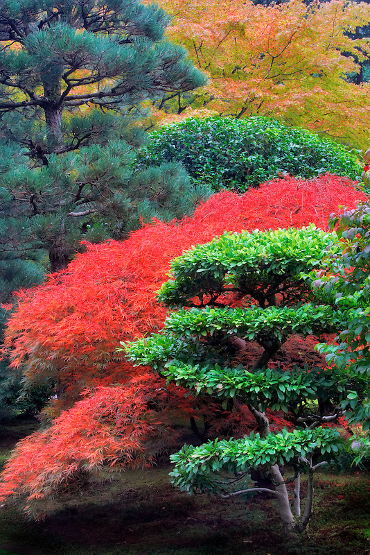 Japanese Maple leaves in fall color and sculptured shrub. Japanese Gardens. Portland. Oregon