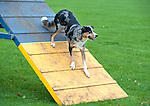 Collie cross Dog on A Frame for Agility