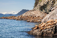 A group of steller sea lions hauled out on a rocky outcrop on Bull Head, Glacier Island, Chugach mountains in the distance, Prince William Sound, southcentral, Alaska.