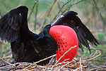 Great Frigatebird (Fregata minor) male, with inflated gular pouch and outspread wings during courtship display, Genovesa (=Tower) Island, Galapagos Islands, Ecuador<br /> Slide # B16-47.
