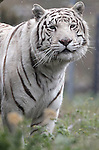Khan, a Bengal tiger, is seen at the Animal Ark in north Reno, Nev, on Tuesday, May 17, 2011..Photo by Cathleen Allison