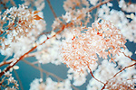 Color infrared image of spring cherry blossoms