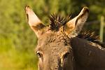 A burro listens in Arizona