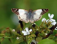 Laviana white-skipper