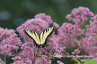 03023-03011 Eastern Tiger Swallowtail (Papilio glaucaus) on Joe Pye Weed (Eutrochium purpureum) Marion Co. IL