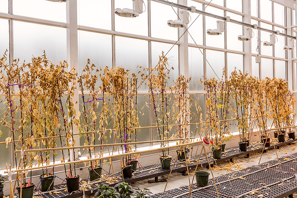 April 19, 2016. Durham, North Carolina. <br />  Brazilian soybean plants reach the end of their life cycle in Greenhouse 5. These pants are considered to have  &quot;stacked traits&quot;, meaning they have been genetically modified to have more than one specific trait created in the lab, such as insect resistance or herbicide tolerance. This plant has one insect trait and one herbicide trait.<br />  The Bayer Crop Science Research Triangle Park main campus houses 2 large greenhouses which are used to test grow many of the seeds that are modified nearby at the Innovation Center. Another greenhouses is currently under construction.